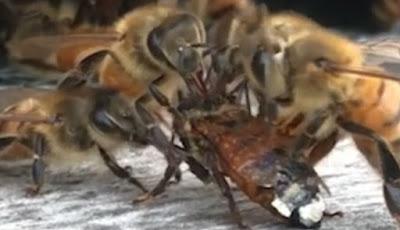 Saat lebah madu membersihkan temannya yang masuk ke dalam madu
