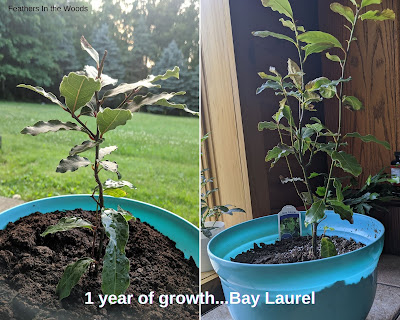 Bay leaf tree 1 year of growth in pictures