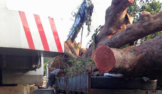 """Miền Tây Minh Hóa, Quảng Bình: Ai cho triệt hạ, bán cây cổ thụ """"rừng vàng"""" để trục lợi?"""