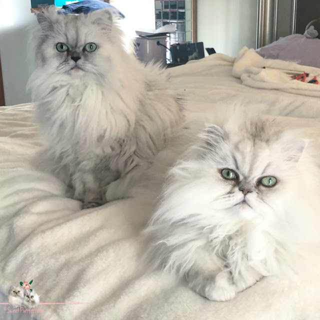 Two silver shaded Persian cats on bed