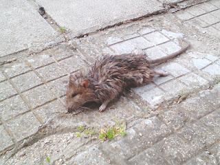 Dead Rat, Yambol,