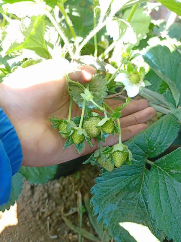 bibit strawbery kalifornia berbuah bibit harga lebih hemat Kepulauan Riau