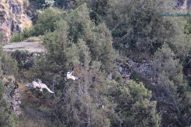 Buitre y Alimoche en vuelo