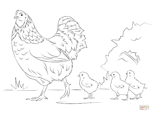 Gambar ayam sketsa