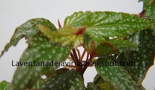 cane-like-begonia-medora