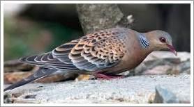 merawat burung perkutut jawa agar manggung