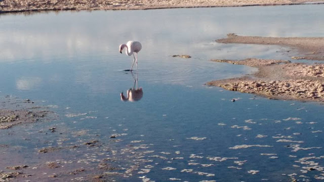 Chilean flamingo wading n the salt flats