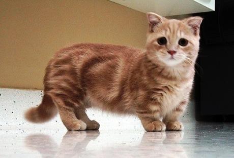 5 Fakta Tentang Kucing Kaki Pendek Ras Munchkin