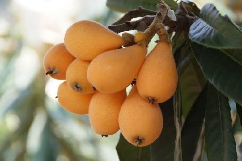 bibit buah biwa leci kuning Sukabumi