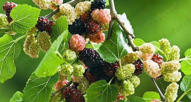 Mulberry a prostatitis alatt)