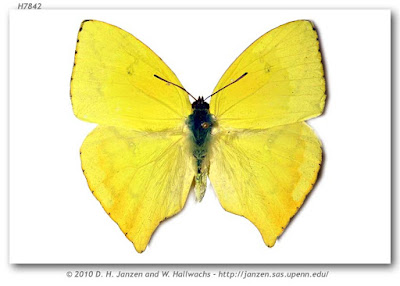 mariposas argentinas