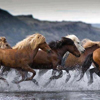 Imagen de manada de caballos galopando en el agua