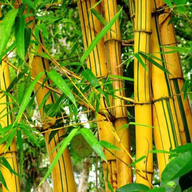 mitos pohon bambu kuning