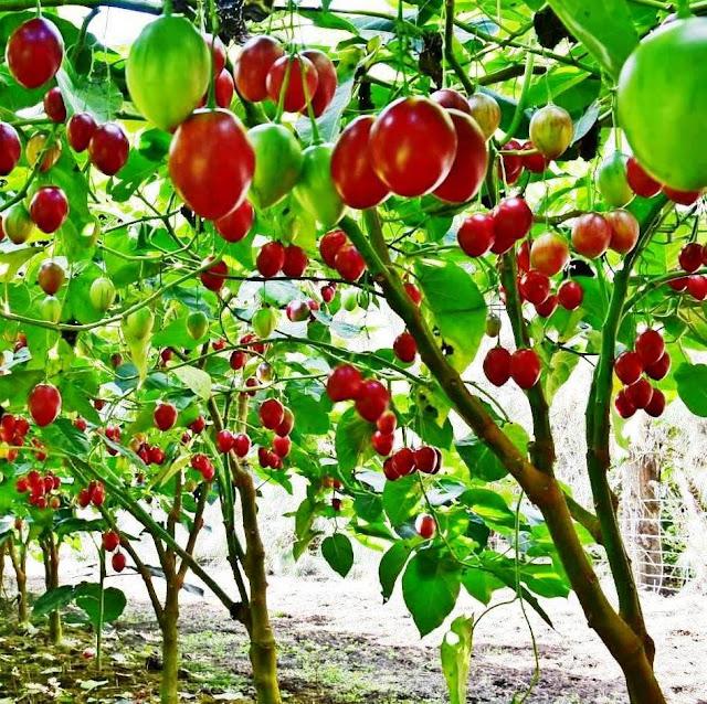 tree tomato farming in Kenya