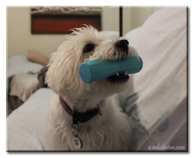 Pierre the Westie loves the goDog Vexo Jr. dog toy