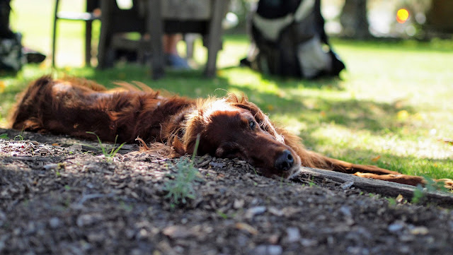 Blenheim wineries: a sleep big brown dog at Bladen Wines in Marlborough New Zealand