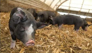 Berkshire Pig Pros and Cons, Characteristics, Price