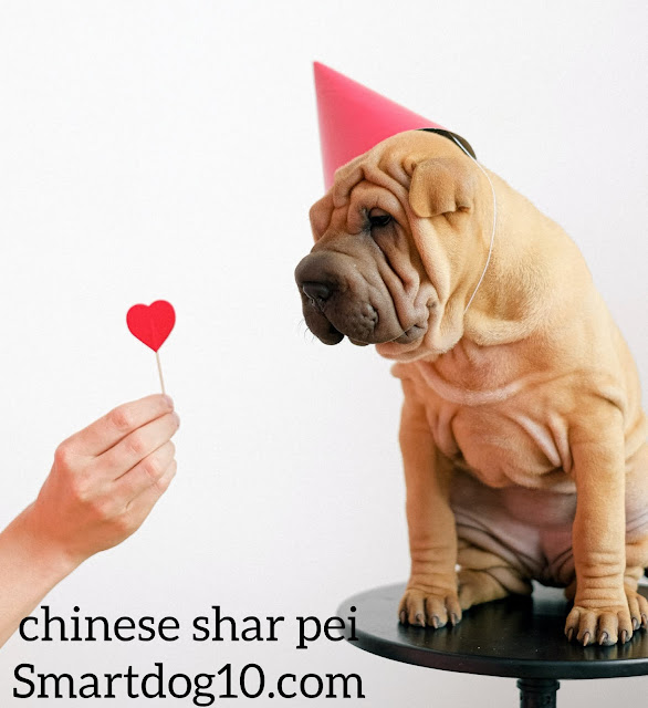 Are Chinese Shar Pei good dogs?