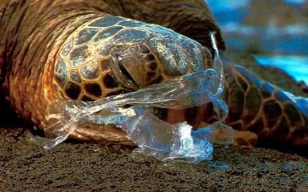 Jangan Buang Sampah Plastik Ke Lautan, Penyu Bisa Mati Karenanya