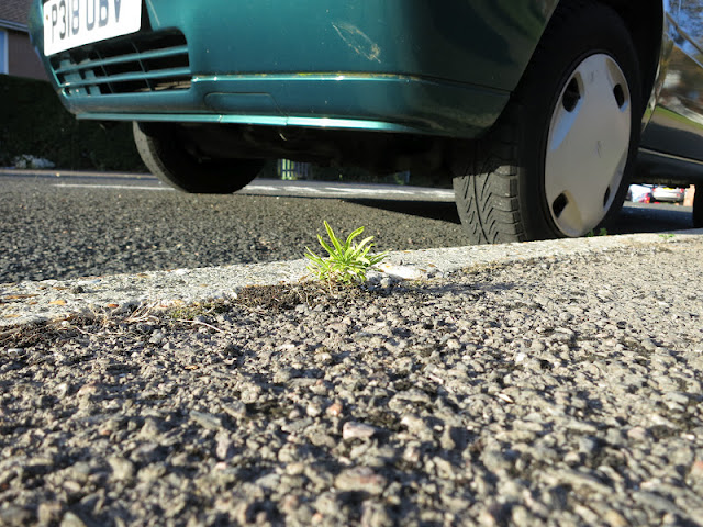 Small plant growing at the edge of a pavement beside a blue car