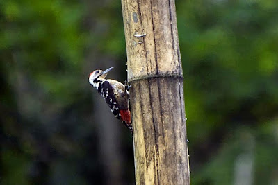 Stripe breasted Woodpecker