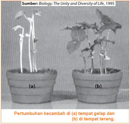 Cahaya mempengaruhi pertumbuhan dan perkembangan pada tumbuhan contohnya adalah dengan percobaan ditempat gelap dan terang