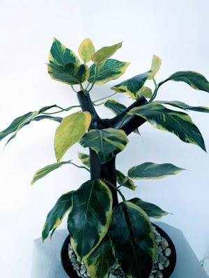 Gambar Pohon Hias Hanjuang