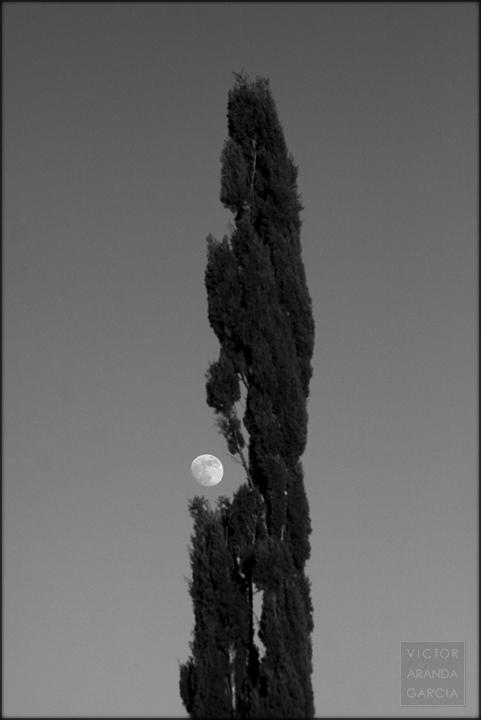 Fotografía en blanco y negro de un ciprés con la luna casi llena detrás