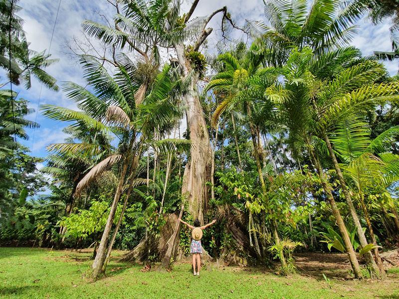 Samaumeira Centenária - Ilha do Combu