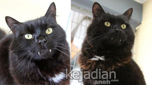 kucing vampir