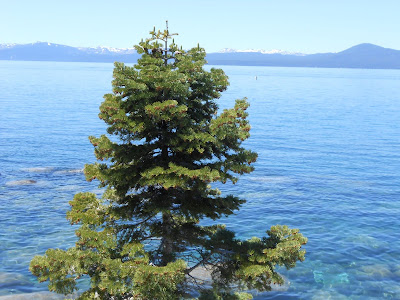 Lake Tahoe, evergreen tree