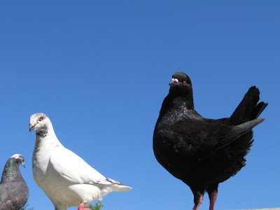 Porumbei august