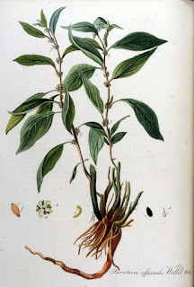 Parietaria officinalis botanical drawing from biolib.de.