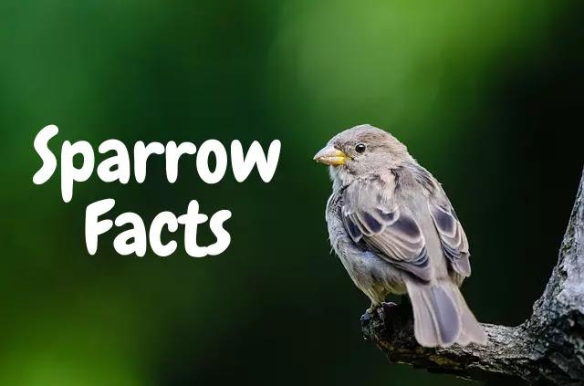 गौरैया के रोचक तथ्य - About Sparrow in Hindi