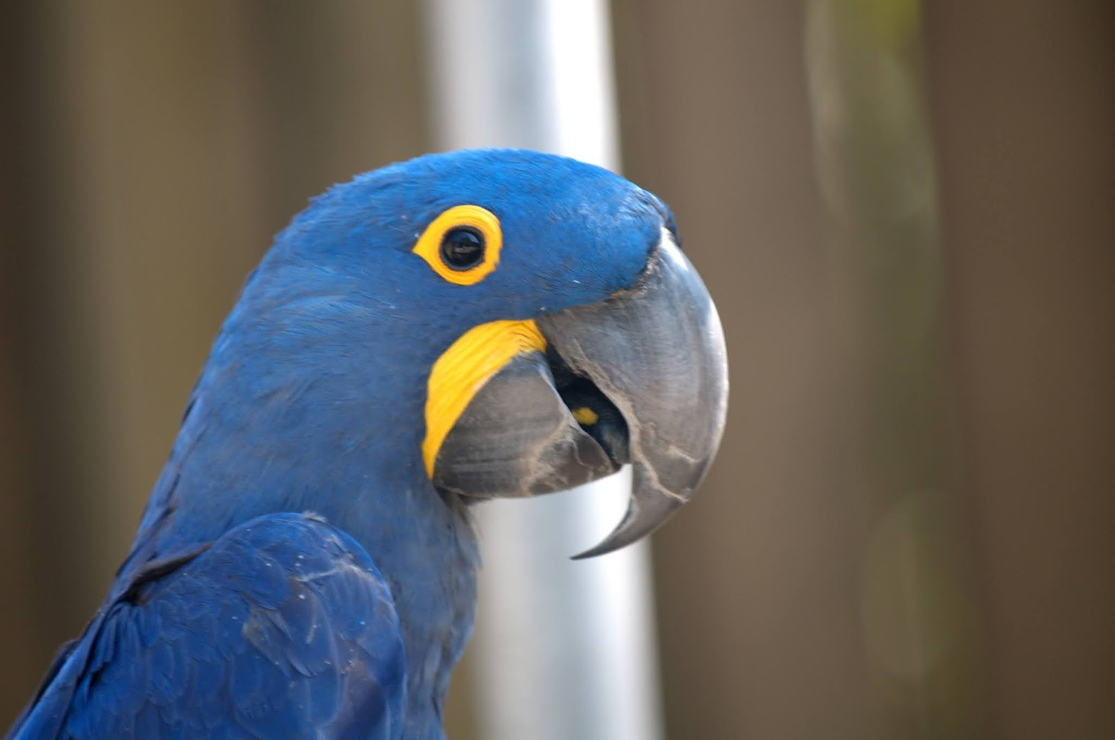 Hyacinth Macaw the largest of all the species parrots in the world
