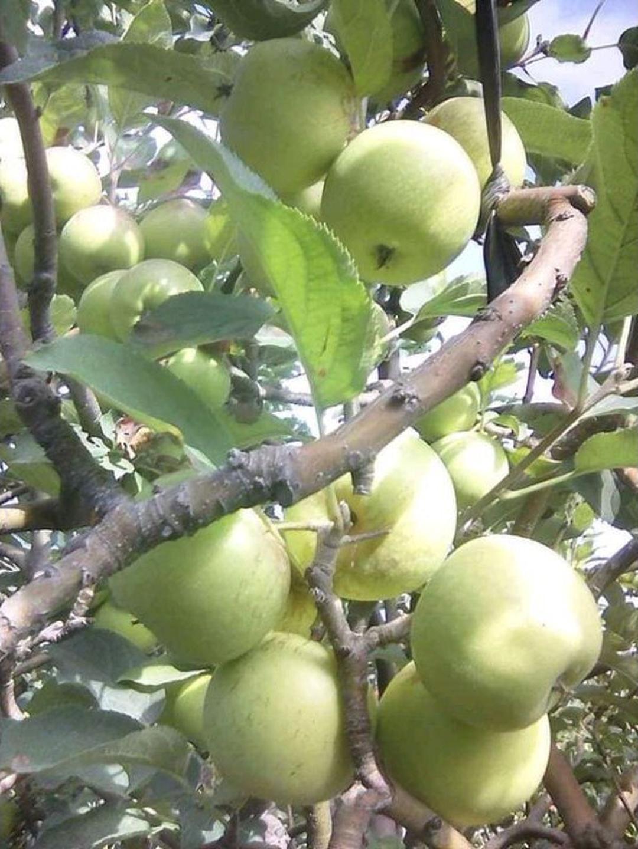 Kualitas Super! bibit apel manalagi benih pohon tanaman buah bisa untuk tabulampot taman Kota Kediri #bibit buah