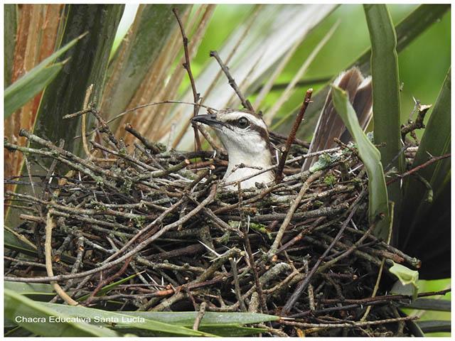 Calandria en el nido- Chacra Educativa Santa Lucía