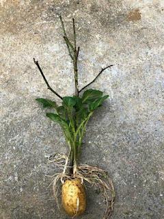 hướng dẫn cách trồng hoa hồng bằng khoai tây