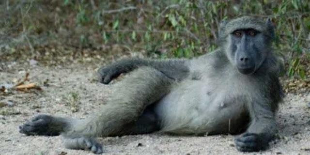 Terror Babon Homo Jantan Yang Memperkosa Banyak Pria di Afrika