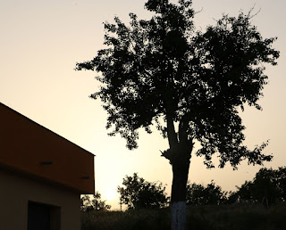 The pear tree stark against the setting sun