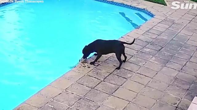 Пес вытащил из бассейна тонущую в нем дворнягу и восхитил хозяев