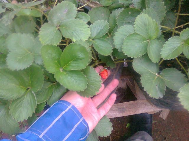 #AyoBerkebun - Pohon Stroberry Tumbuh Subur Diberi Pupuk Organik Cair