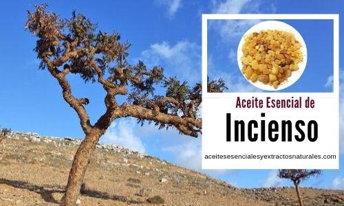 La esencia o aceite esencial de incienso se extrae del árbol Olíbano, Boswellia carteri