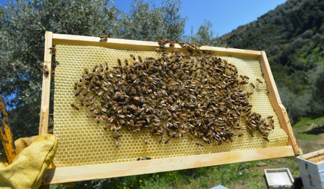 Περσινές άκτιστες κηρήθρες: Πως τις πιάνουν γρήγορα τα μελίσσια;