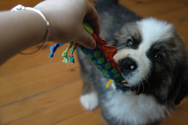 Giant Dog Breed Profile: Saint Bernard history and dog breed information