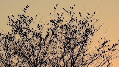 Starlings Flocking in the Last of the Daylight