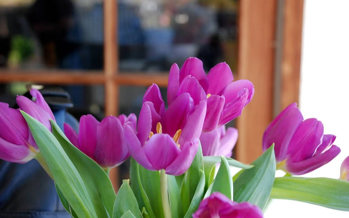 Beautiful Tulip Widescreen HD Wallpaper 9
