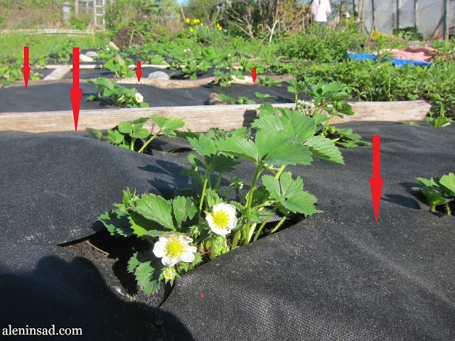 посадка земляники на спанбонд, минусы, аленин сад, выпирание корней, вымерзание корней, осот, поднимает вверх,