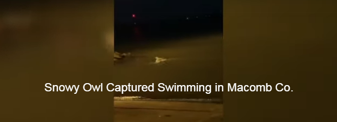 WATCH: Snowy Owl Captured Swimming in Macomb Co.