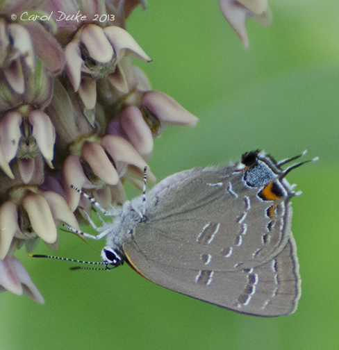 Gossamer Wings ~ Hairstreak